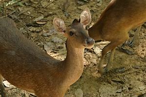 Deerland Park Pahang deer