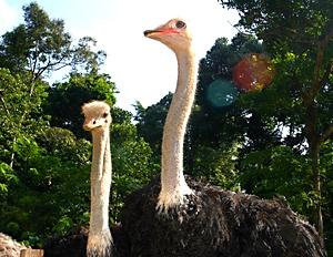 Deerland Park Pahang ostrich