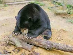 Deerland Park Pahang sun bear